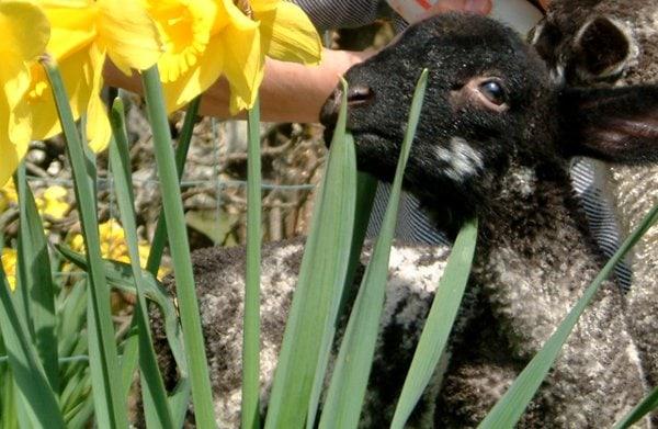 Easter Lambs At Melbecks