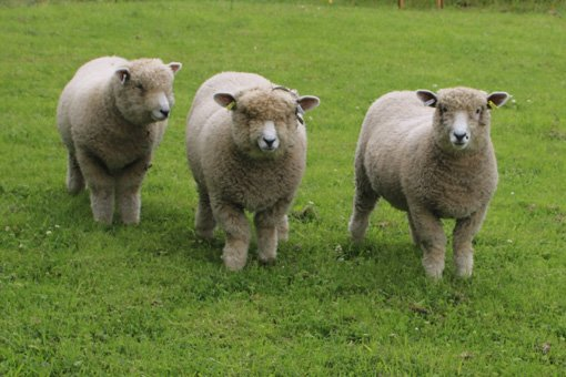 Our Melbecks Ryelands - three ewe lambs collectively known as Destiny's Child