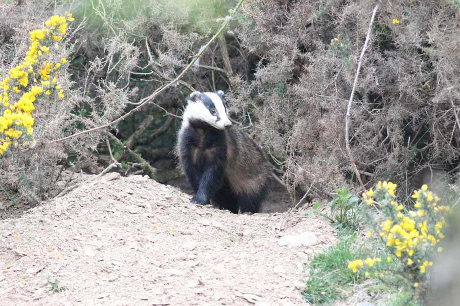 A young badger emerges from its sett hidden in the gorse and looks round.