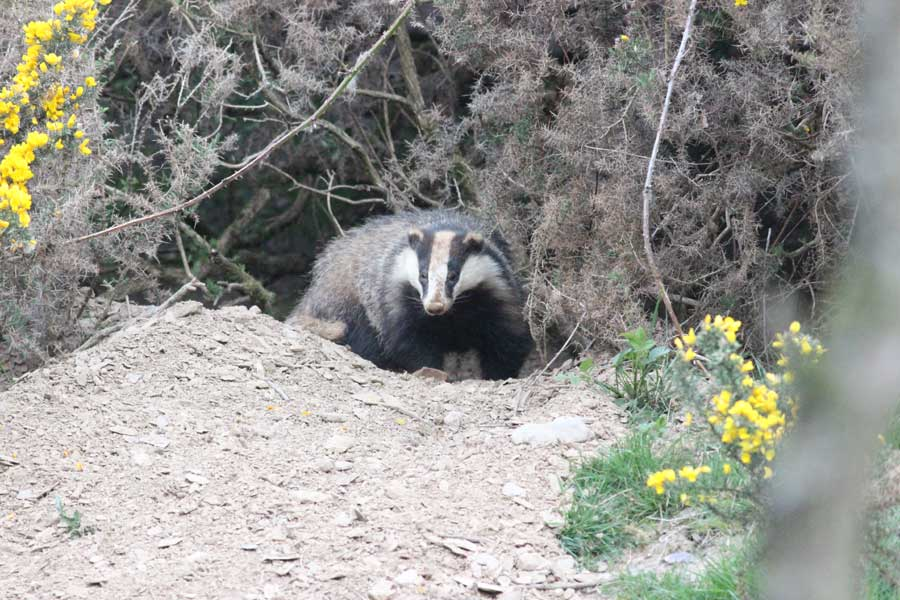 A dirty headed badger coming out of its sett at dusk.