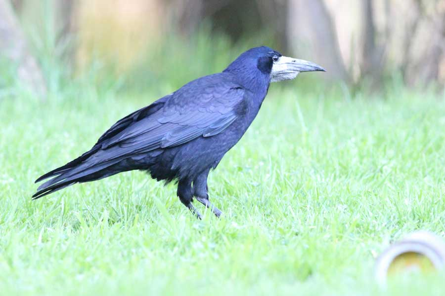 A crow on the lawn taking peanuts from a dislodged bird feeder.