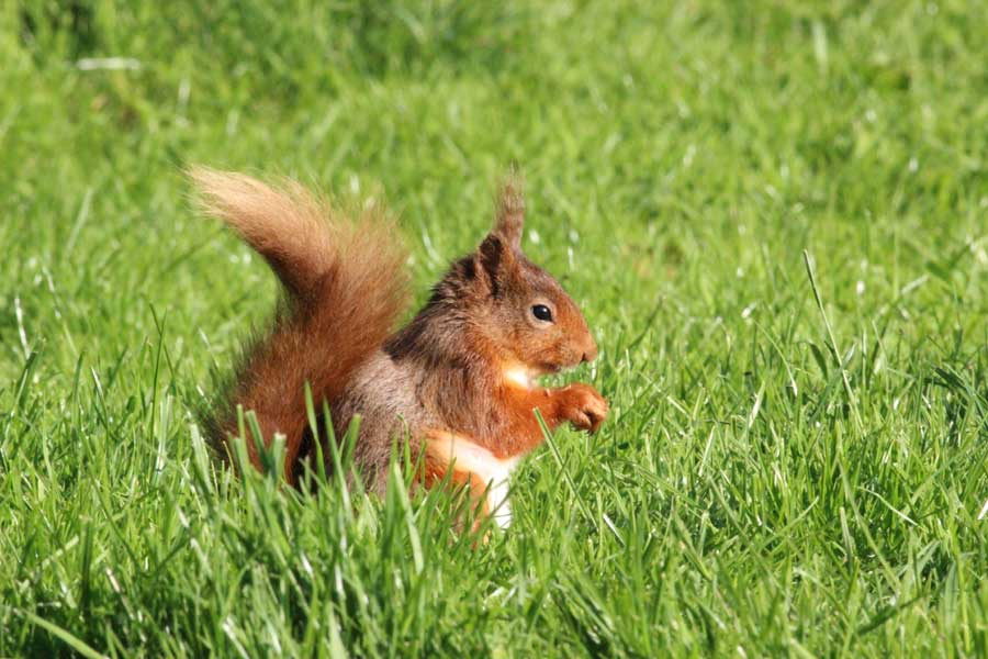 Red squirrel with a hazelnut on the lawn at Melbecks Holiday Cottages, Lake District