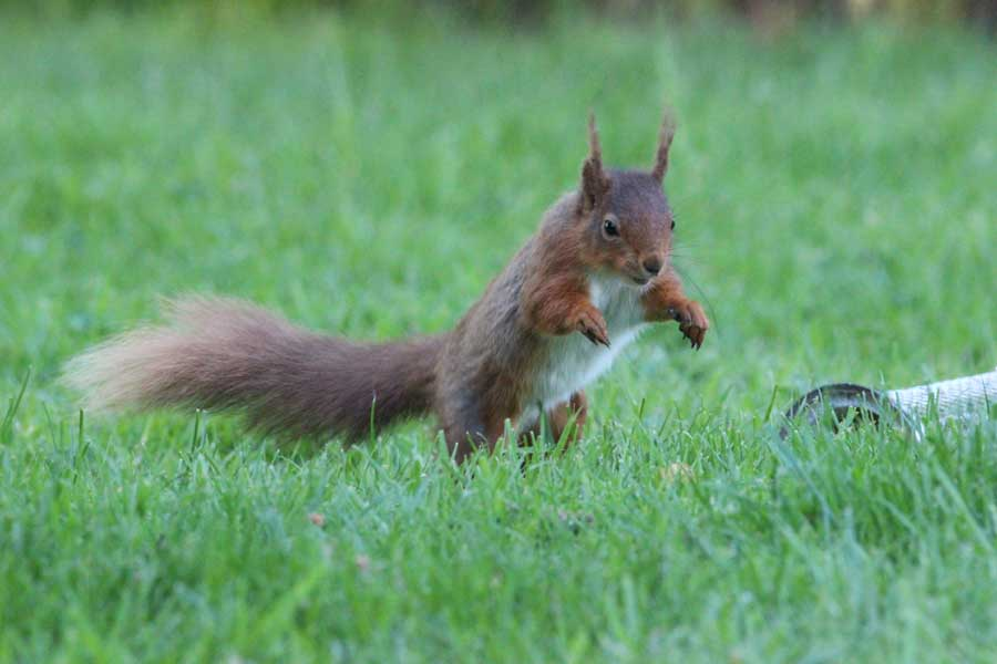 A leaping red squirrel after it has dislodged a bird feeder filled with peanuts on the lawn in front of our lake district cottages at melbecks